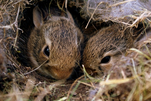 When Do Baby Rabbits Open Their Eyes?