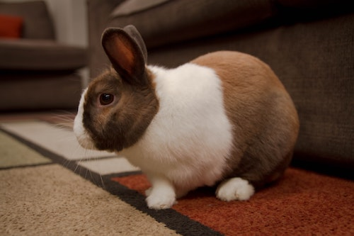 How Do You Know When a Rabbit is Pregnant?