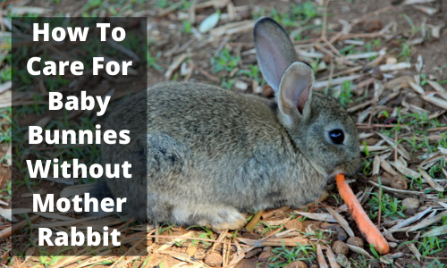 How To Care For Baby Bunnies Without Mother Rabbit