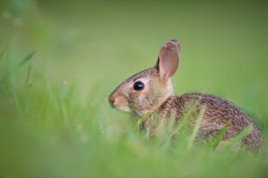 How long do baby bunnies keep their eyes closed For After Their Birth?