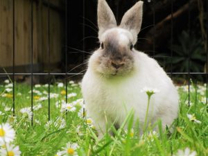 Why Do Rabbits Make Grunting Noises?? What Noise Does A Rabbit Make When Happy??