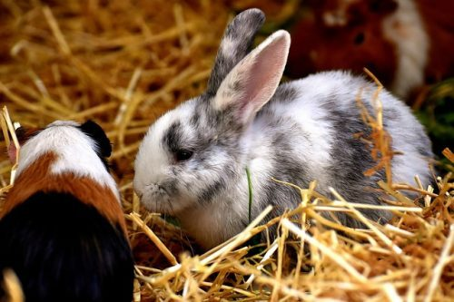Can Guinea Pigs And Rabbits Live Together?