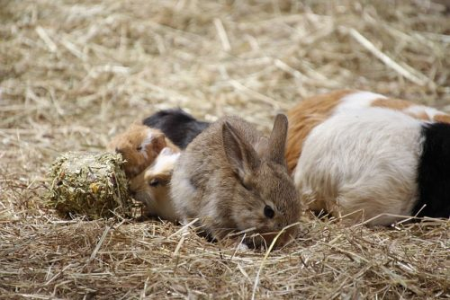 Do Rabbits Need To Eat Their Own Poop?