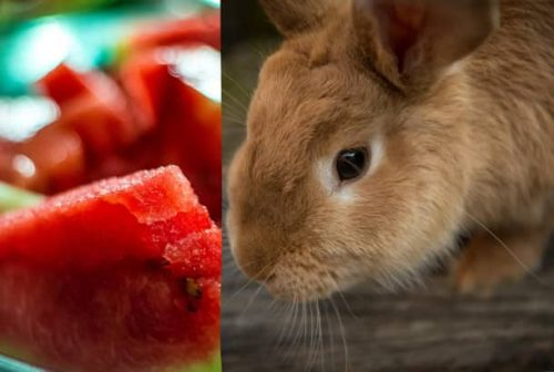 Can Rabbits Eat Watermelon?