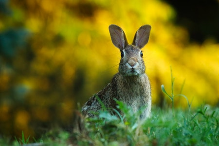 How Do Rabbits Act Before Giving Birth?